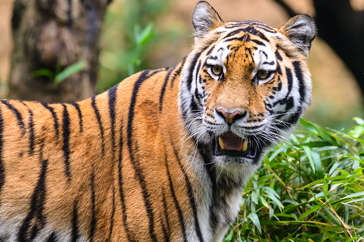 18 Day Splendours of Amritsar & the Bengal Tiger